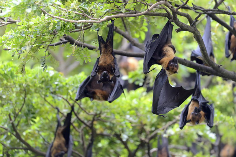 הדברת עטלפים