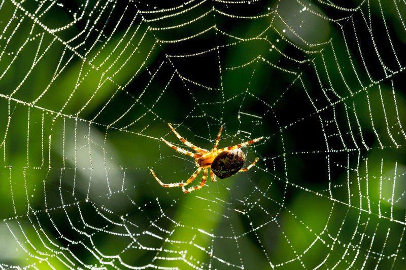 עכביש ארוך רגליים