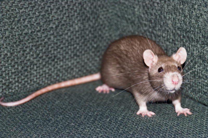 הדברת עכברושים